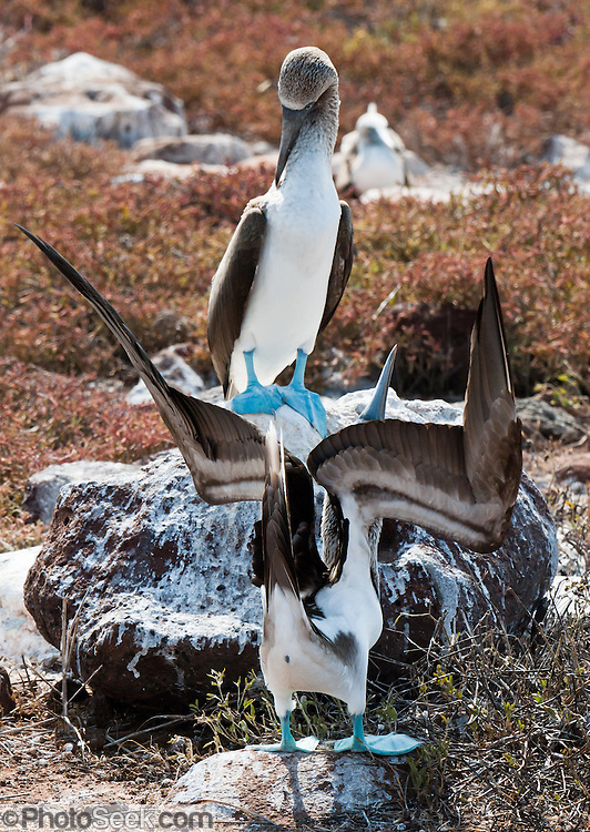 """A Blue-footed Booby (Sula nebouxii) pair does a sky pointing mating dance on North Seymour Island, part of the Galápagos archipelago, a province of Ecuador 972 km offshore west of the continent of South America. The Sulidae family comprises ten species of long-winged seabirds. The name """"booby"""" comes from the Spanish term bobo, which means """"stupid"""" or """"fool/clown,"""" which describes its clumsy nature on land. Like other seabirds, they can be very tame. Blue-footed Boobies breed in tropical and subtropical islands of the Pacific Ocean."""