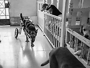 A paralyzed dog in his wheelchair walks about the Milagros Perrunos shelter for disabled dogs in Lima, Peru.