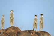 Die im südlichen Afrika verbreiteten Erdmännchen (Suricata suricatta) leben in Gruppen von durchscnittlich 10 Tieren, es können aber auch bis zu 50 Individuen zusammenleben. Diese Gruppen sind keine Familiengruppen. Durch Zu- und Abwanderung ergeben sich gemischte Gruppen von zum Teil nicht verwandten Tieren, die ein gemeinsames Territorium mit unterirdischem Gangsystem bewohnen. Die Aufgaben werden unter den Gruppenmitgliedern verteilt und immer wieder getauscht. Ein bis mehrere Erdmännchen stehen immer auf erhöhten Landmarken Posten um die mit Nahrungssuche beschäftigten Übrigen im Notfall vor Adlern und Schakalen zu warnen.  |  Suricate or Slender-tailed Meerkat (Suricata suricatta)