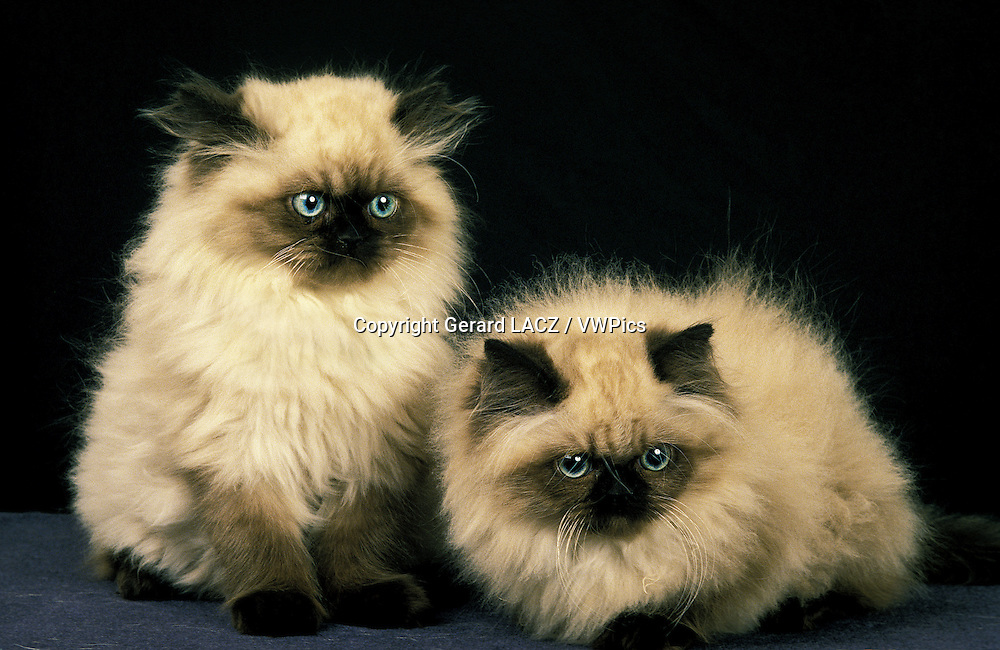 Colourpoint Persian Domestic Cat, Kittens against Black Background