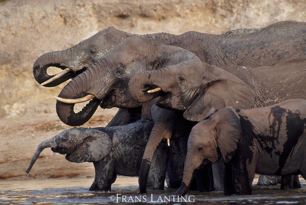 African elephants drinking, Loxodonta africana, Chobe National Park, Botswana