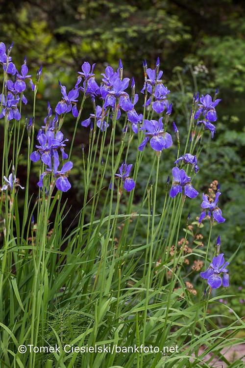 Iris sibirica `Dragonfly`