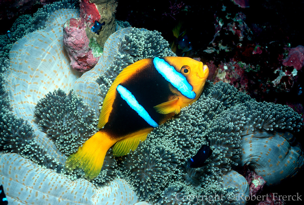 UNDERWATER MARINE LIFE WEST PACIFIC, Fiji Islands FISH; barred clownfish Amphiprion clarkii