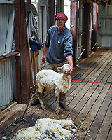 I'm cold. Sheep shearing demonstration at an Estancia in Patagonia. Image taken with a Nikon D3s camera and 50 mm f/1.4 lens (ISO 200, 50 mm, f/2.8, 1/100 sec).