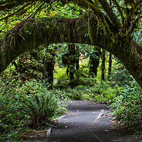 A natural arch created from a tree in the Hoh Rain forest thats located in Olympic National Park in Washington State.