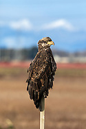 A juvenile Bald Eagle (Haliaeetus leucocephalus) perched on a fence post at Boundary Bay in Delta, British Columbia, Canada.