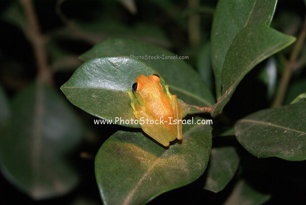 Madagascar, Vakona Forest, Tree Frog (Boophis luteus)
