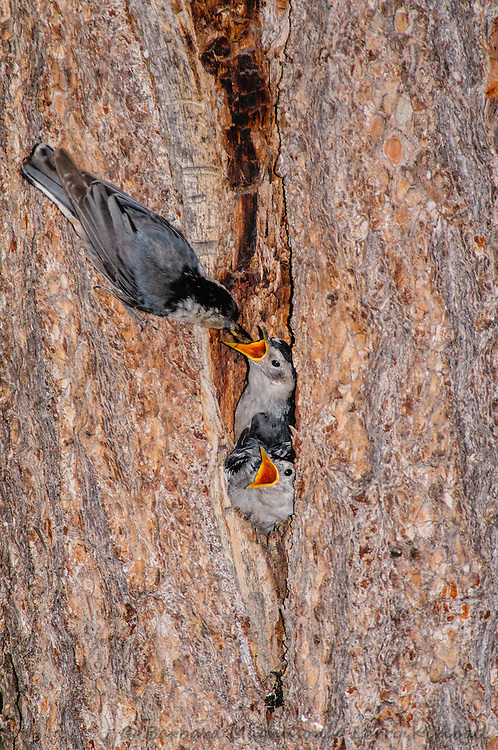 White-breasted Nuthatch [Sitta carolinensis] adult feeding nestlings in tree cavity nest; Fremont County, Colorado
