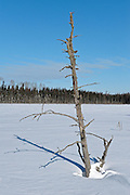 Dead tree Near Pagwachuan Lake<br /> Longlac<br /> Ontario<br /> Canada