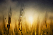 Close-up of a barley field in backlight - texturized photograph<br />