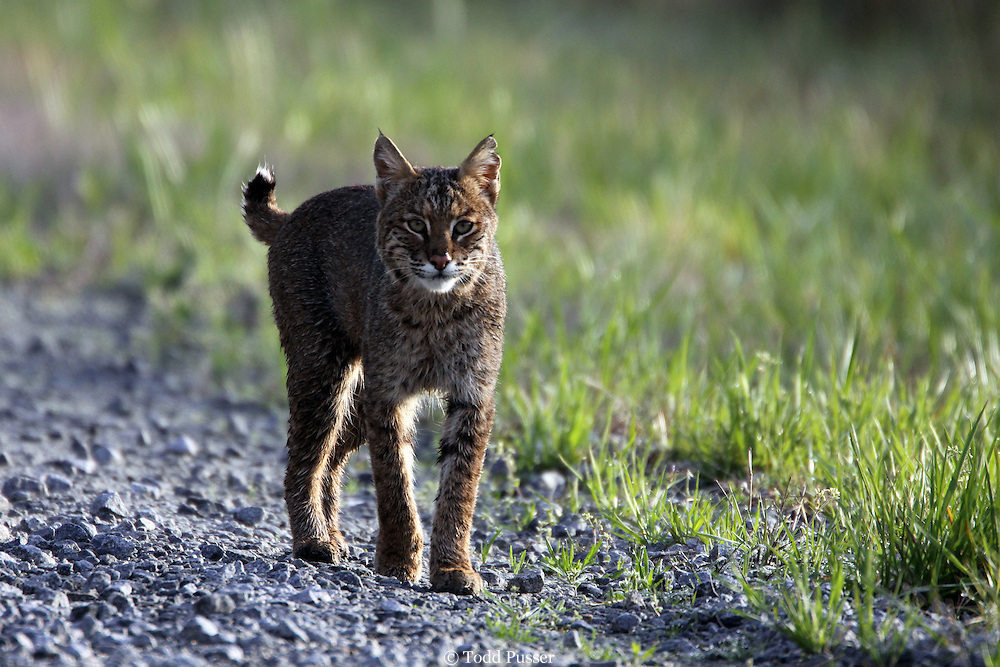 Bobcat (Felis rufus) walking down a dirt road. Alligator River National Wildlife Refuge. North Carolina, USA