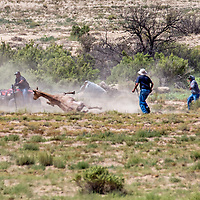 082913       Cable Hoover<br /> <br /> Volunteers converge on one horse after it stumbled on a barb-wire fence during a roundup near White Rock Aug. 29.