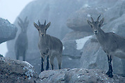 Spanish Ibex (Capra pyrenaica). Female and fawn with a young male at the back in a foggy morning. Torcal de Antequera Natural Park, Málaga province, Spain