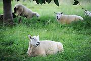 Nederland, Niftrik, 4-8-2012Schapen lopen en liggen  in het gras.Foto: Flip Franssen/Hollandse Hoogte