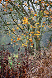Sorbus 'Joseph Rock' - Mountain ash - in winter