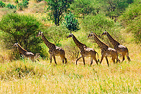 A herd of giraffes, Tarangire National Park, Tanzania