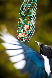 A magpie feeding in the garden.