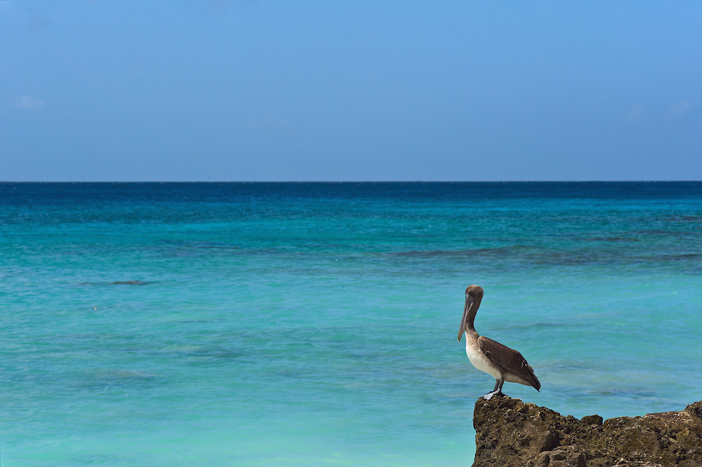 Pelican on rock with blue reen Caribbean Sea in background