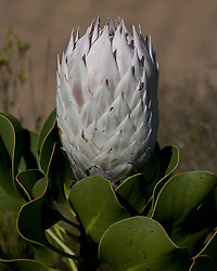 March 18, 2011 - Cape Town, Western Cape, South Africa - The Protea, South Africa's national flower, in the Stellenbosch National Botanical Gardens. Named after the Greek god Proteus, who could change his form at will, Protea are one of the oldest groups of flowering plants and have existed for over 300 million years. They range in color from cream to deep red. (Credit Image: © Arnold Drapkin/ZUMAPRESS.com)