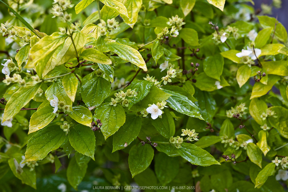 Philadelphus coronarius  (Sweet Mock-orange) is a species of deciduous shrubs in the genus Philadelphus.