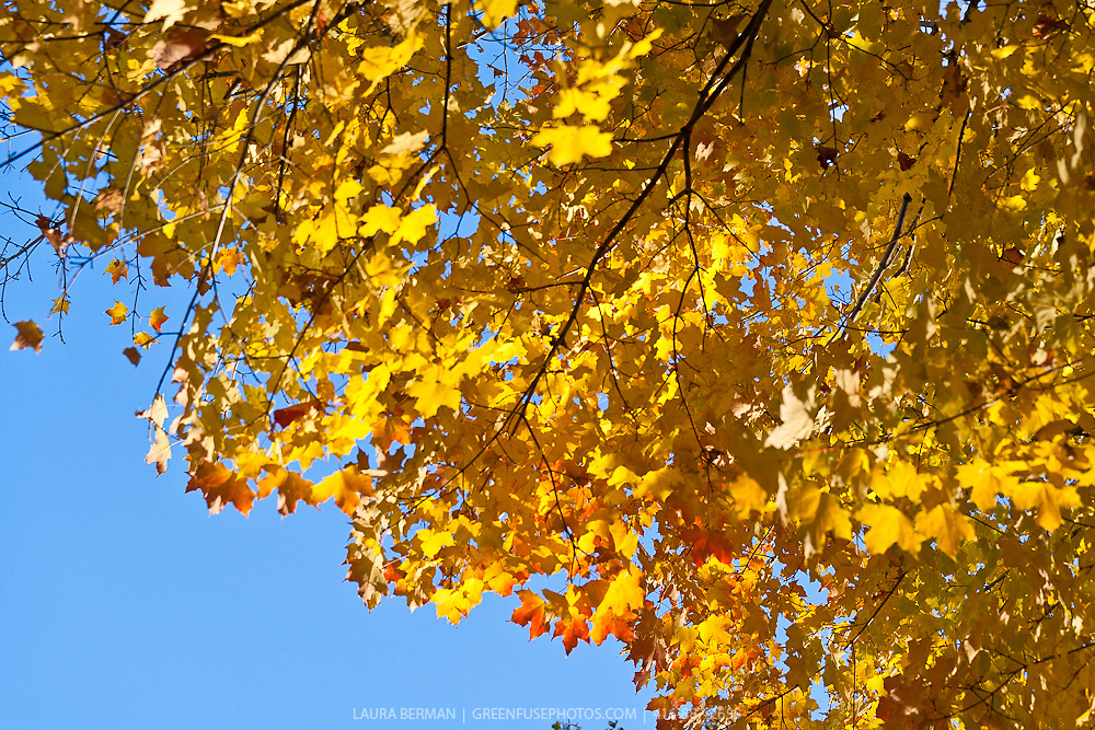 Canadian sugar maples in their yellow autumn foliage under a bright blue sky ( Acer saccharum)
