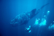 Whale shark, Rhincodon typus, Sea of Cortez, Mexico