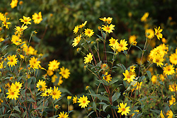 05 September 2015:   Oxeye Sunflower<br /> Heliopsis helianthoides<br /> <br /> Dawson Lake located in Moraine View State Park maintained by the Illinois Department of Natural Resources (IDNR) near Le Roy Illinois