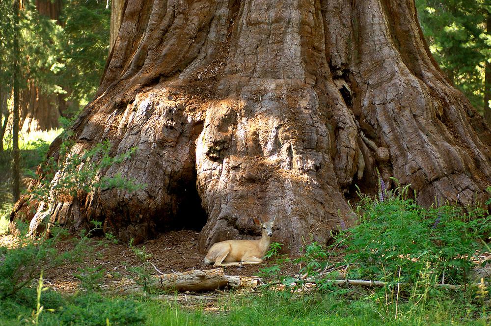 Deer under Redwood Tree, Mariposa Grove, Yosemite National Park, California, United States of America