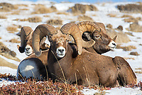 Bighorn sheep rams  in Jasper National Park, Alberta, Canada