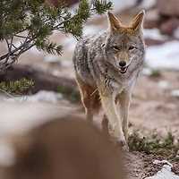 A coyote trots around his paddock at the Navajo Nation Zoo in Window Rock Wednesday.