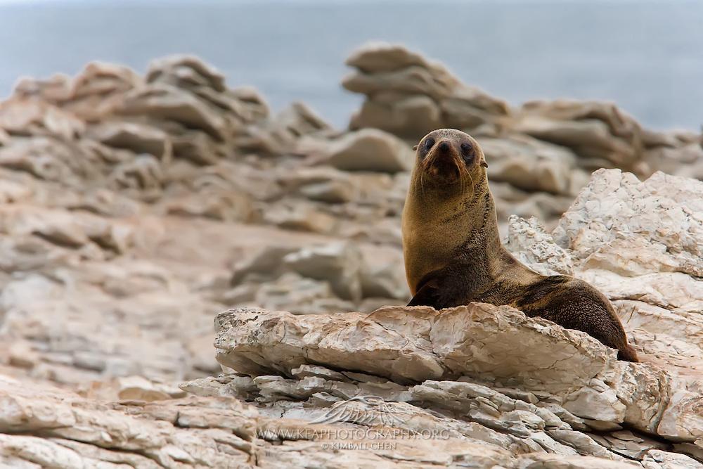 New Zealand Fur Seal, Kaikoura