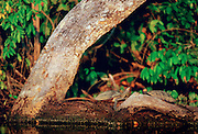 Pair of Yellow Spot Signet Turtles on  log in Lake Sandoval Peruvian Rainforest, South America