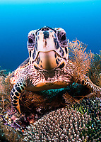 The hawksbill sea turtle (Eretmochelys imbricata) is a critically endangered sea turtle belonging to the family Cheloniidae at Raja Ampat, Indonesia