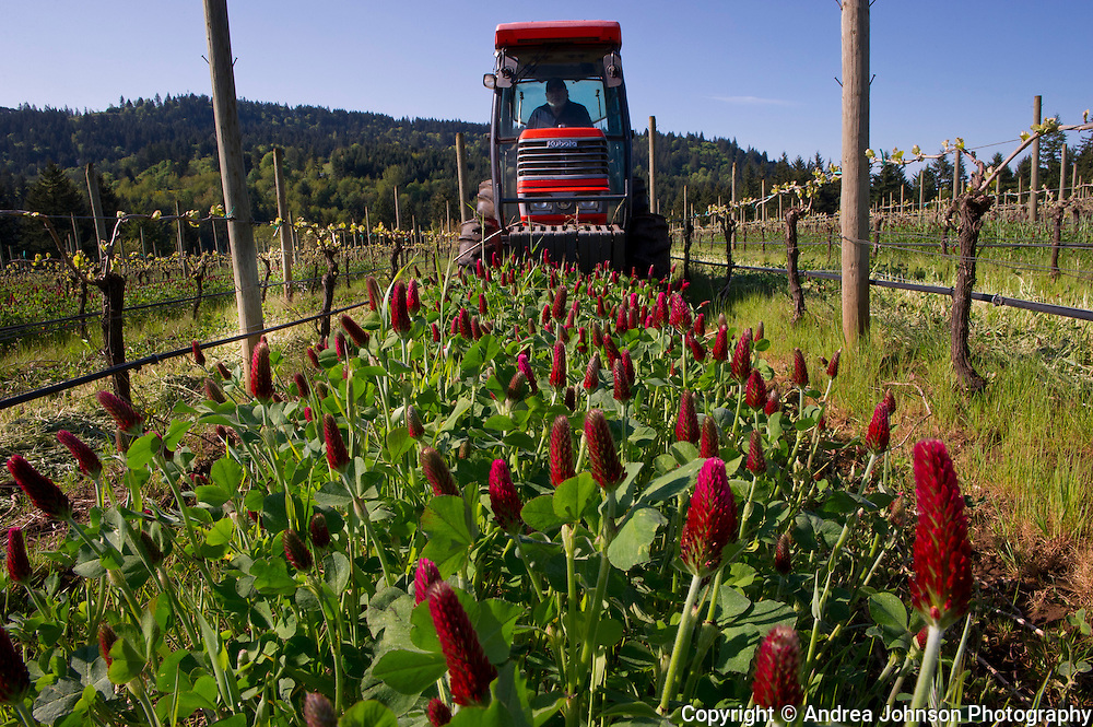 Springtime at Anam Cara Vineyard, Newberg, Oregon, vineyard is abundant with groundcover and colorful clover