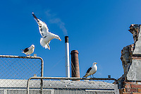 Kelp Gulls congregate at a fish processing factory, Lamberts Bay, Western Cape, South Africa