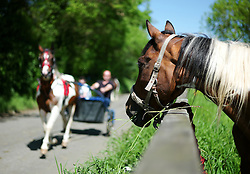 © Licensed to London News Pictures. <br /> 06/06/2014. <br /> <br /> Appleby, Cumbria, England<br /> <br /> A horse looks on as a trap is driven past as gypsies and travellers gather during the annual horse fair on 6 June, 2014 in Appleby, Cumbria. The event remains one of the largest and oldest events in Europe and gives the opportunity for travelling communities to meet friends, celebrate their music, folklore and to buy and sell horses.<br /> <br /> The event has existed under the protection of a charter granted by King James II in 1685 and it remains the most important event in the gypsy and traveller calendar.<br /> <br /> Photo credit : Ian Forsyth/LNP