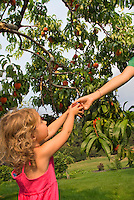 A young girl, 3-4, is handed a fresh peach in the Okanagan orchard.