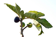 Close up of the fruit and leaves of a fig tree Ficus carica on white background