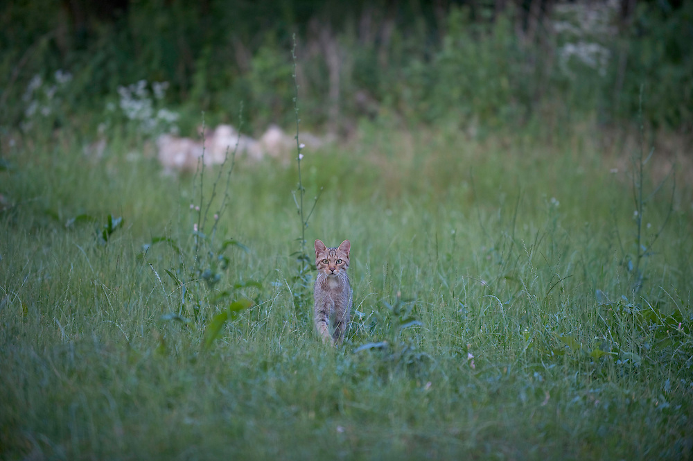 Wild cat (Felis silvestris) in long grass, Codrii Forest Reserve, Moldova, June 2009