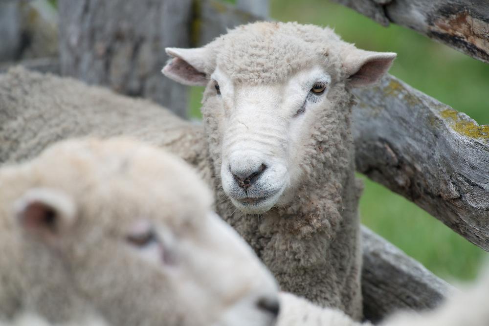 Chilean Sheep