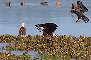 Bald eagles (Haliaeetus leucocephalus) fight over a midshipman fish caught in the Hood Canal near Seabeck, Washington. Hundreds of bald eagles congregate in the area in the early summer to feast on migrating midshipman fish that get trapped in oyster beds at low tide. Bald eagles, however, primarily get their food by stealing it from other birds, including eagles.