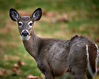 Doe looking at me. Image taken with a Nikon D5 camera and 600 mm f/4 VR telephoto lens (ISO 720, 600 mm, f/4, 1/640 sec).