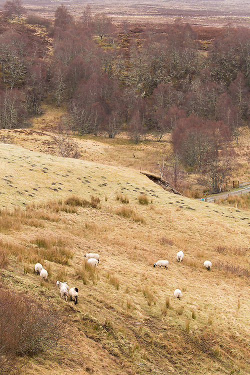 Sheep grazing upland pasture, Strathspey, Scotland