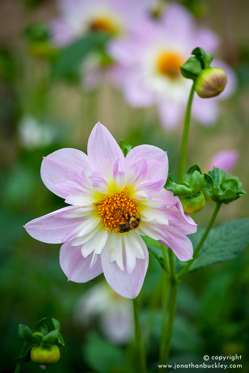 Dahlia 'Teesbrooke Audrey' with bees