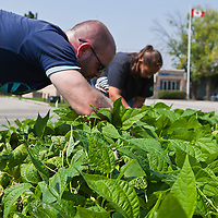 FoodShare's market garden project at Bendale School.
