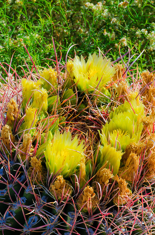 Barrel cactus in bloom, Anza-Borrego Desert State Park, California USA