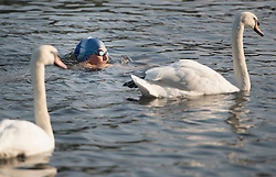 © Licensed to London News Pictures. 15/09/2016. London, UK. Members of The Serpentine Swimming Club take a dip amongst the swans in Hyde Park. Another exceptionally warm Autumn day is expected today in parts of the United Kingdom. Photo credit: Ben Cawthra/LNP