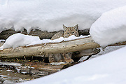 Bobcat (Lynx rufus) in winter habitat