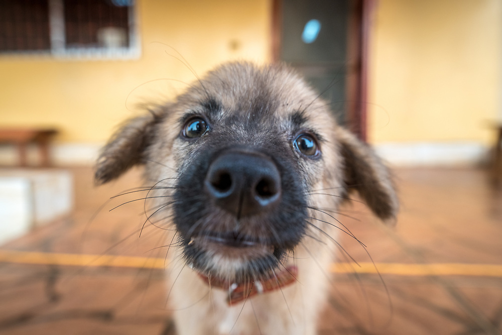 A puppy peers curiously into the camera lens. (Canis lupus familiaris) Ganta Liberia