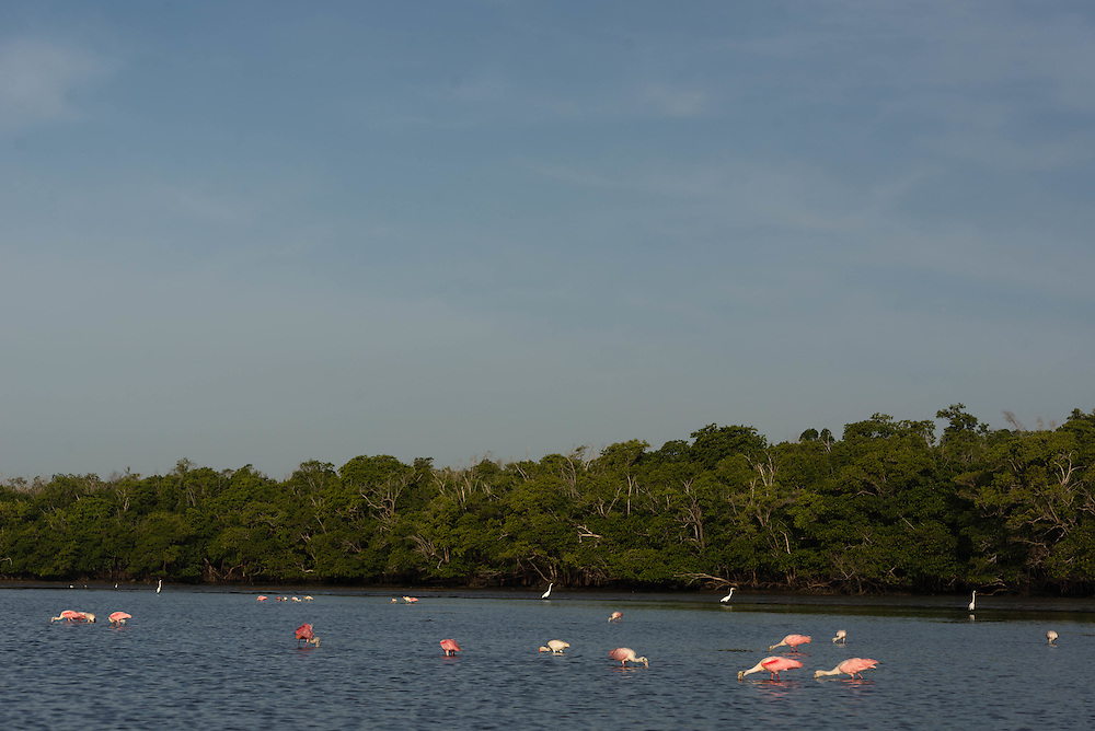 Roseate Spoonbills feed in Lane Cove in the Florida Everglades
